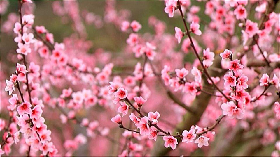 12e3940fb8 Vídeo Los colores de la primavera china atraen a miles de turistas ...