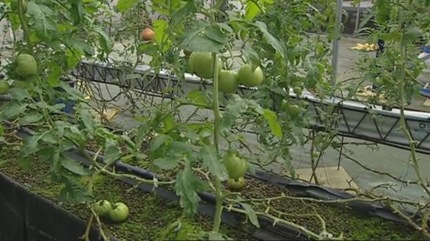 hidropónico Audio Inversin De Cultivo Hidropnico De Tomates En