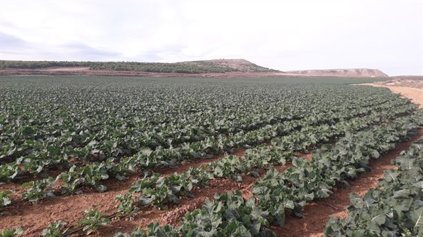Brócoli, cultivo dominante en Navarra